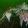 Cuttlefish, Oosterschelde.