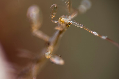 Skeleton shrimp, Ouddorp.