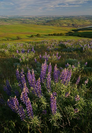 Lupine, Dalles Mountain State Park
