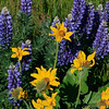 Balsamroot and lupines