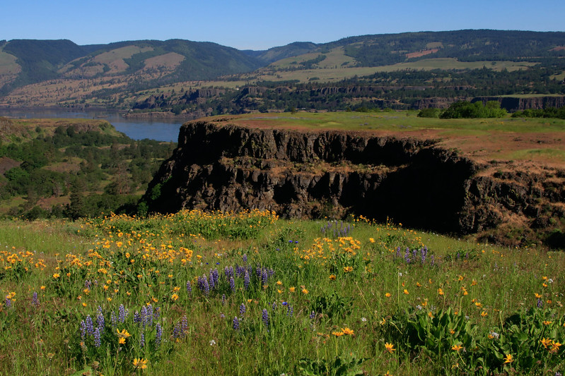 Balsamroot and lupines at the Tom McCall Nature Preserve