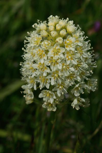 Zigadenus venenosus - Meadow death camas lily