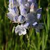 Brodiaea howelii /Triteleia grandiflora v. howellii