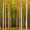 Boardman Poplars Oct 2013 -8990
