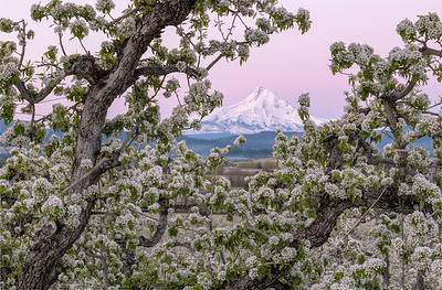 Mount Hood Orchard Blossoms