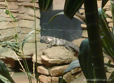 The Spiny-tailed Iguana can reach up to 4 feet in lengh but are still quite agile when they feel threatened.