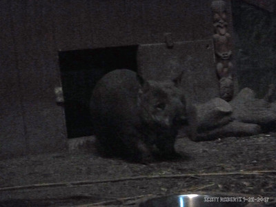 The Southern Hairy-Nosed Wombat lives in a series of tunnels in the Southern Australia heat and comes out in the cooler night to scavenge for food.