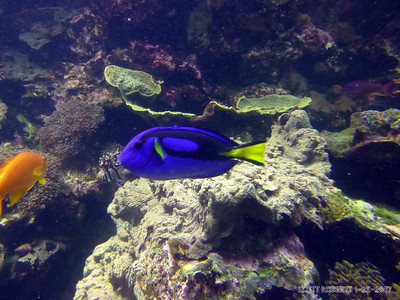 I found Dory! She's a blue tang fish. Blue Tangs look harmless and sweet, but they will actually fight for dominance. They have razor share spines in the bases of their tails that they will use to fight and kill each other. It's because of these sharp spines that the Blue Tangs are part of a group of fish known as Surgeonfish.
