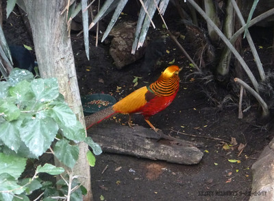 The Golden Pheasant can be found hanging around Central China. The boy pheasants are the colorful birds while the female and babies are typicaly just brown in color. You would think that the colorful birds would be easy to spot out in the wild but in their natural habitat these birds are amazingly camouflaged.