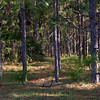 pine trees and pine straw