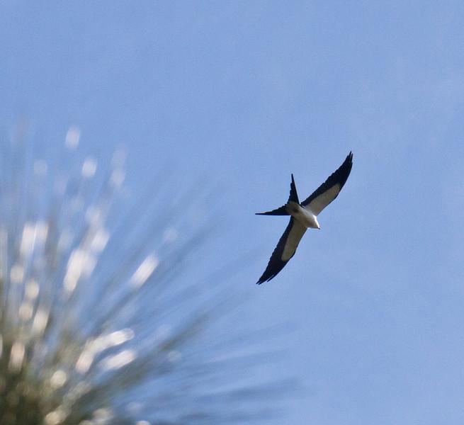 swallow tailed kites