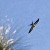 swallow tailed kites