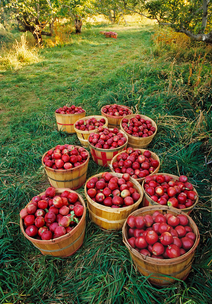 """Old-fashioned apple orchard harvest.  (To purchase prints or downloads, click on the """"Buy"""" or shopping cart button above the image.)"""