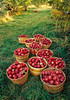 "Old-fashioned apple orchard harvest.  (To purchase prints or downloads, click on the ""Buy"" or shopping cart button above the image.)"