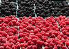 "Fresh, organically grown berries - raspberries, and blackberries.  (To purchase prints or downloads, click on the ""Buy"" or shopping cart button above the image.)"