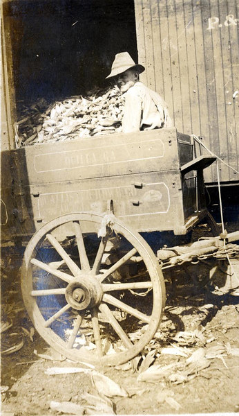 Unloading corn from the John Paulk farm near Alapaha about 1920. This series of photographs documents the farming process in Berrien County about 1920