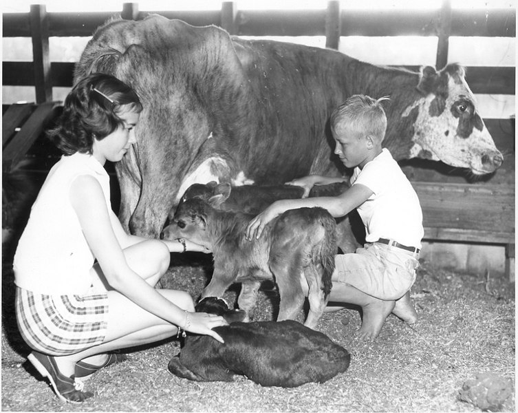 Yvonne and Ronnie Gaskins with twin calves on their grandfather, J. Henry Gaskins' farm, circa 1958.
