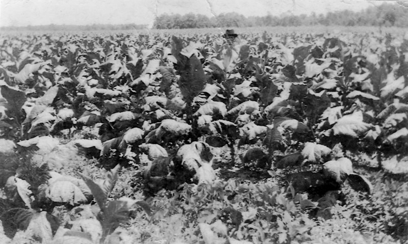 Tobacco Fields near Alapaha about 1930 G021a