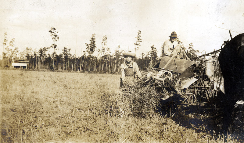 Cutting grain on the John Paulk farm near Alapaha about 1920. This series of photographs documents the farming process in Berrien County about 1920