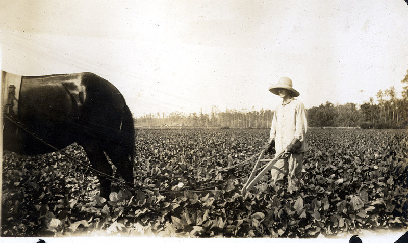 Cultivating the crop on the John Paulk farm near Alapaha about 1920. This series of photographs documents the farming process in Berrien County about 1920