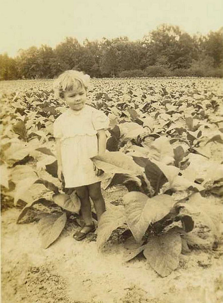 1942 tobacco field on the Sills Farm. Louise Sills Tyree age 2, daughter of Clyde and Flora Griffin Sills.