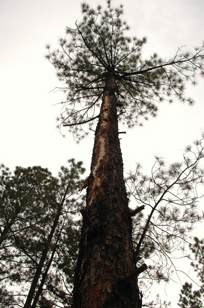 A twelve foot impact scar along the trunk of this 60 foot Ponderosa Pine indicates the angle and direction of the Classic Lifeguard Helicopter as it fell through the forest. (2008 LostFlights)