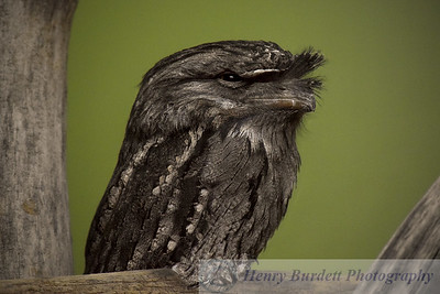 A Tawny Frogmouth at the National Aviary in Pittsburgh, PA.  The bird is noted for its ability to blend in with the surrounding trees.