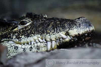 A Cuban Crocodile at the Louisville Zoo.