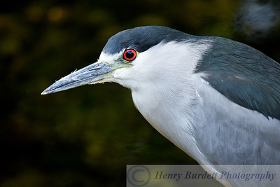 A Black Crowned Night Heron at the National Aviary in Pittsburgh, PA.