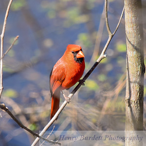 Cardinal in the Wild