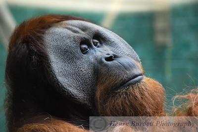 Relaxing Orangutan