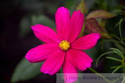 A Cosmos Flower.