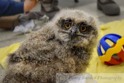 Baby Eurasian Owl