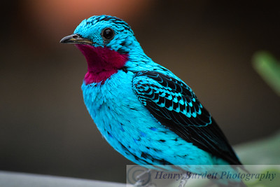 A Spangled Cotinga at the National Aviary in Pittsburgh, PA.