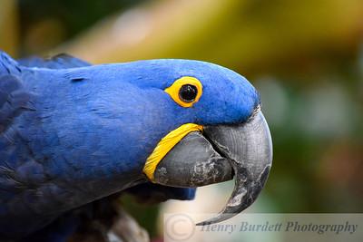 Bonito, a Hyacinth Macaw