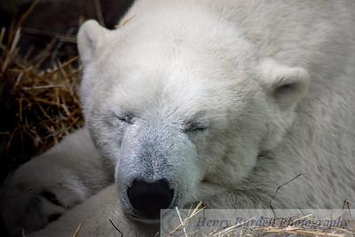 A Polar Bear takes a nap at the Louisville Zoo.