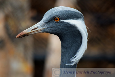 A Demoiselle Crane at the National Aviary in Pittsburgh, PA.