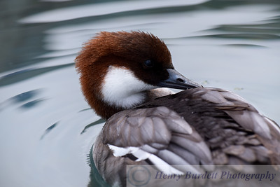 A Smew at the National Aviary in Pittsburgh, PA.