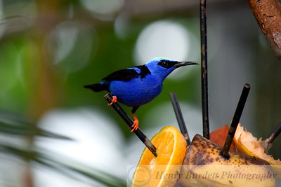 Red Legged Honey Creeper