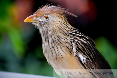 A Guira Cuckoo at the National Aviary in Pittsburgh, PA.