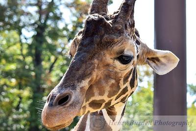 A Giraffe at the Baltimore Zoo.
