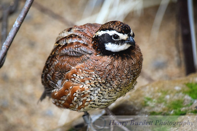 Northern Bob White Quail