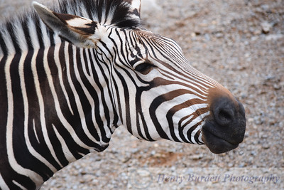 A Zebra at the Louisville Zoo.