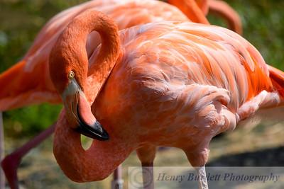 Chilean Flamingos at the National Zoo in Washington, DC.