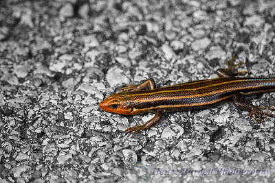 A wild Five-Lined Skink also visiting the Louisville Zoo.