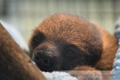 Valentino, the Baby Sloth
