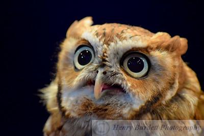 Cypress Screech Owl