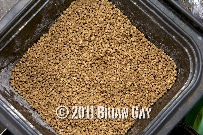 micro pellets in a bait box, Will Raison fishes a small cage feeder with dead maggots and fishmeal for bream. © 2012 Brian Gay