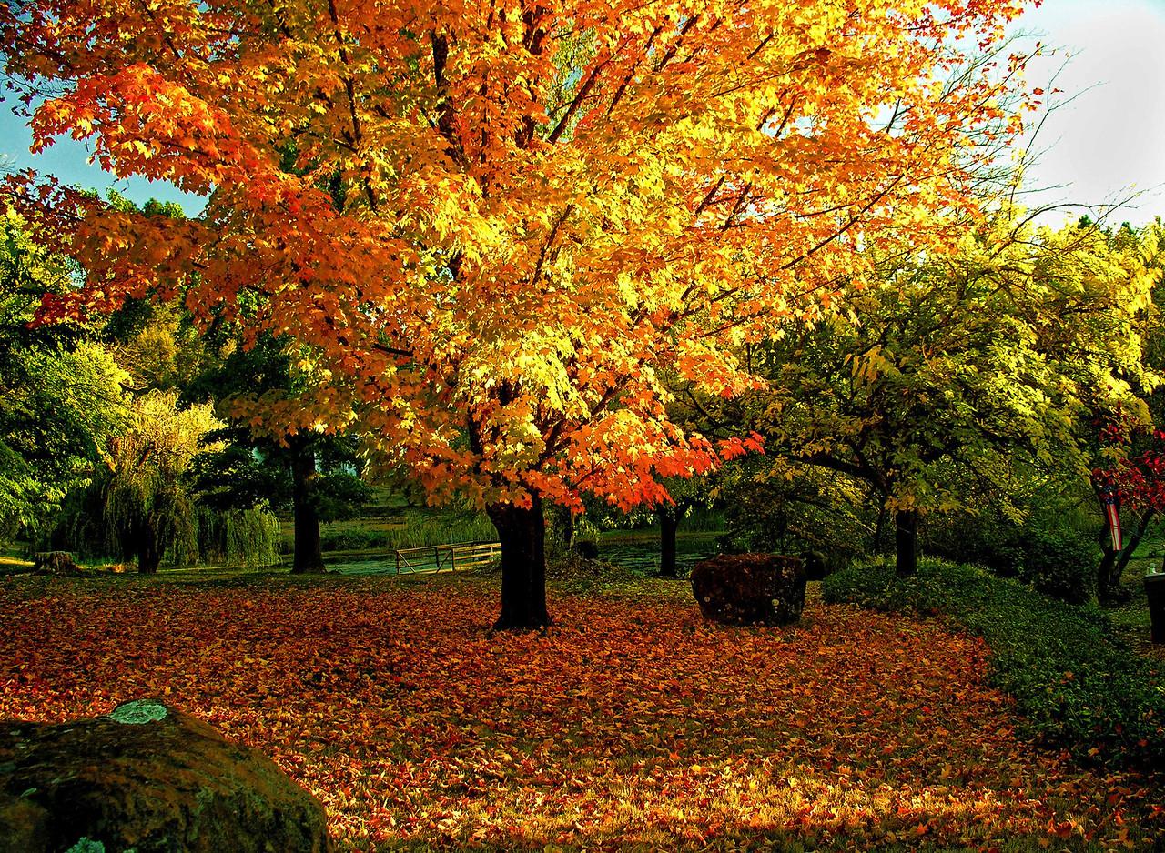 Sugar Maple in Full Fall Foliage