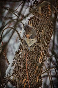 Hungry Squirrel in a Cold Blizzard
